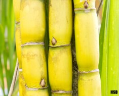 Why sugar cane is natural